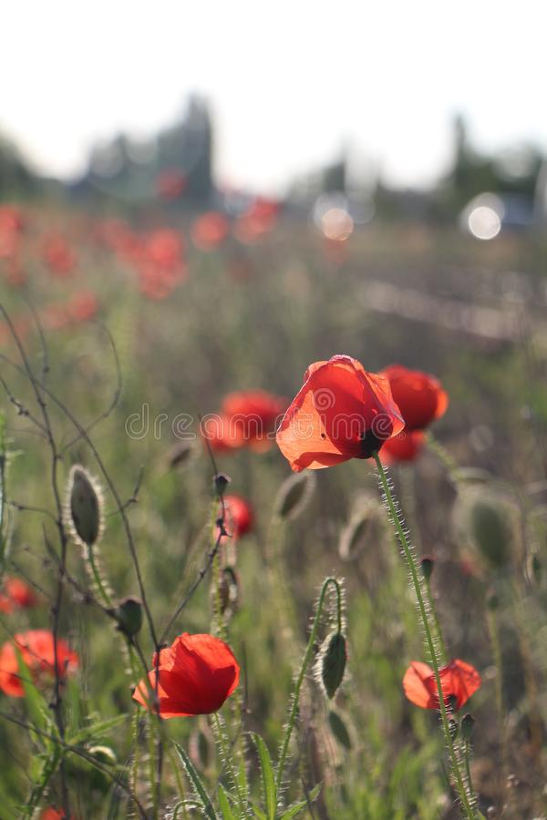 Photo of red poppies in the summer on the nature stock photos