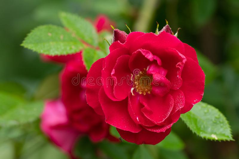 Close up photo of red rose in soft focus and with rain drops stock photo