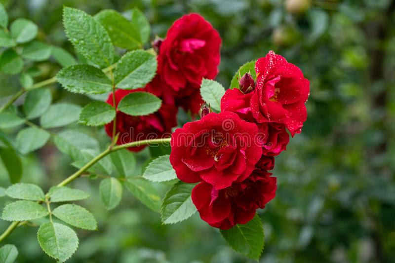 Close up photo of red roses in soft focus and with rain drops stock images