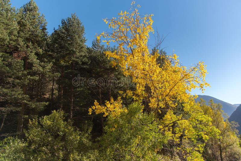 Autumn with beautiful yellow trees in Canillo, Andorra. Photo that reflects the arrival of autumn with beautiful yellow trees in Canillo, Andorra royalty free stock photography