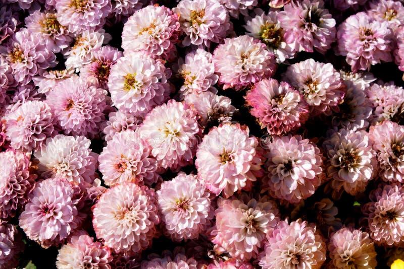 Photo rose-clair de macro de fleur de dahlia image libre de droits