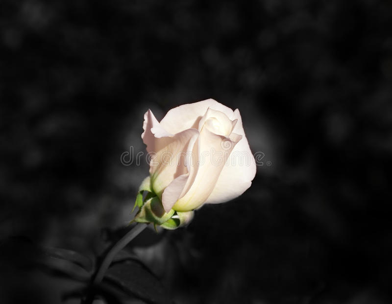 photo of a rose royalty free stock photography