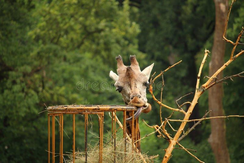 Photo of Rothschilds giraffe eating straw with stick out tongue. Photo of Rothschilds giraffe (also known as Baringo giraffe or Ugandan giraffe) eating straw stock photos