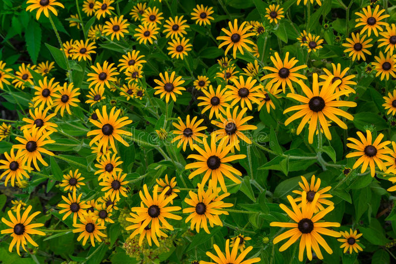 Photo of rudbeckia closeup stock photos