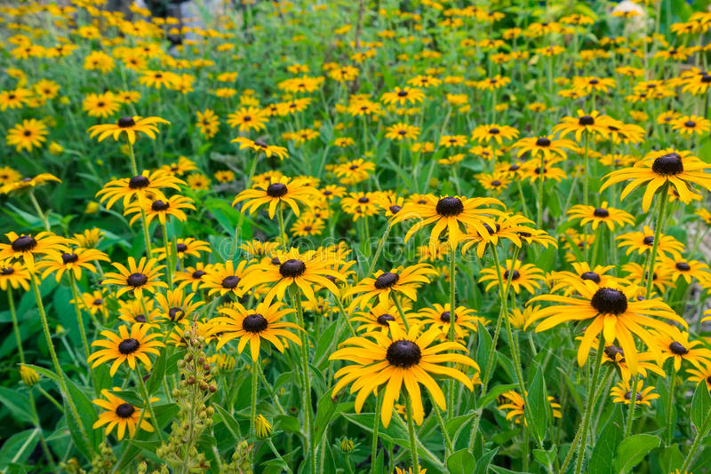 Photo of rudbeckia closeup stock image
