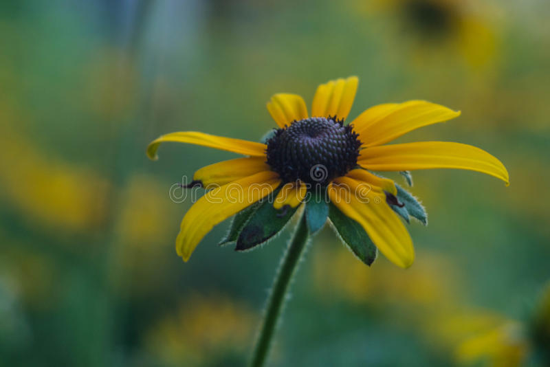 Photo of rudbeckia closeup royalty free stock photography