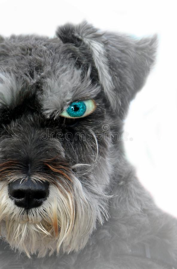 One beady open blue eyed alert dog watchful look pet royalty free stock photography