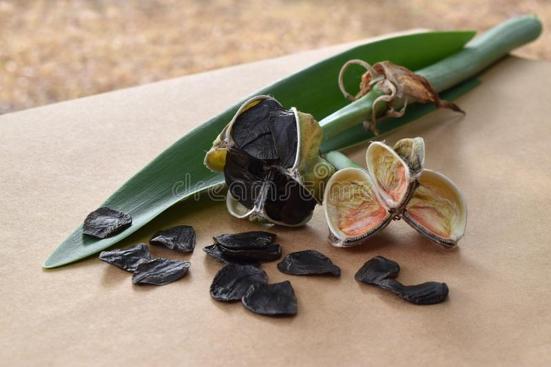 Amaryllis seed pods and a green leaf stock photo