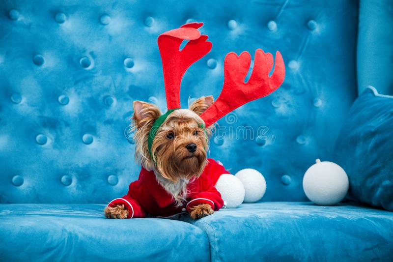 Photo session couch tiffany blue turquoise color dog pet new year christmas red terrier sofa toy. A New Year dog photo session on a couch. A little sweet little stock photography