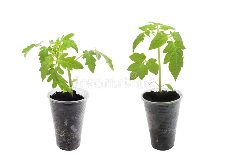 A photo of set of young green tomato seedling sprouts isolated on white background. Spring concept for gardening, the plant ready stock image