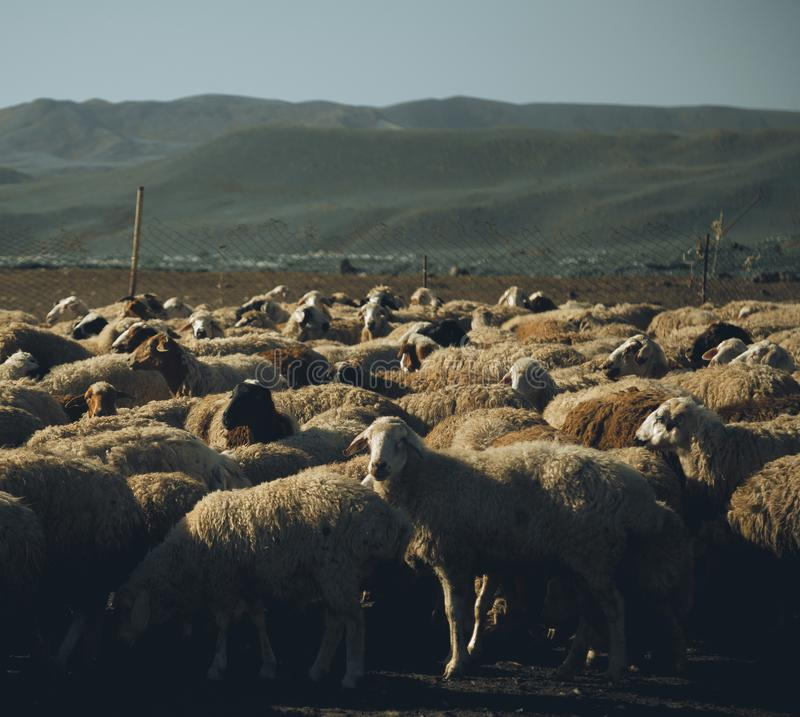 Sheep herd. A photo of sheep herd - agriculture - farm - province stock images