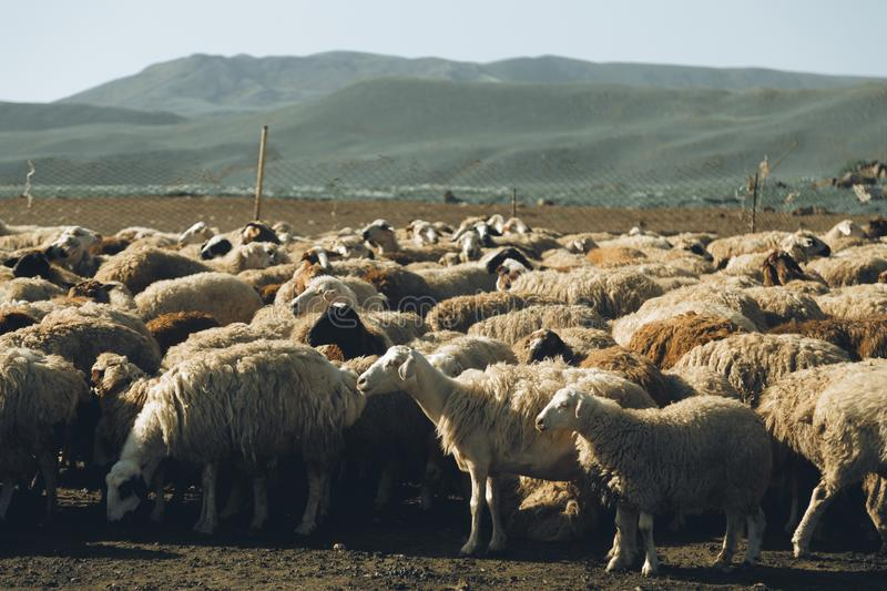 Sheep herd. Photo of sheep herd at a farm - agriculture royalty free stock photography