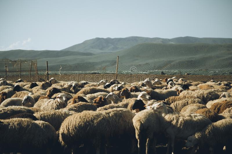 Sheep herd. Photo of sheep herd at a farm - agriculture stock photos
