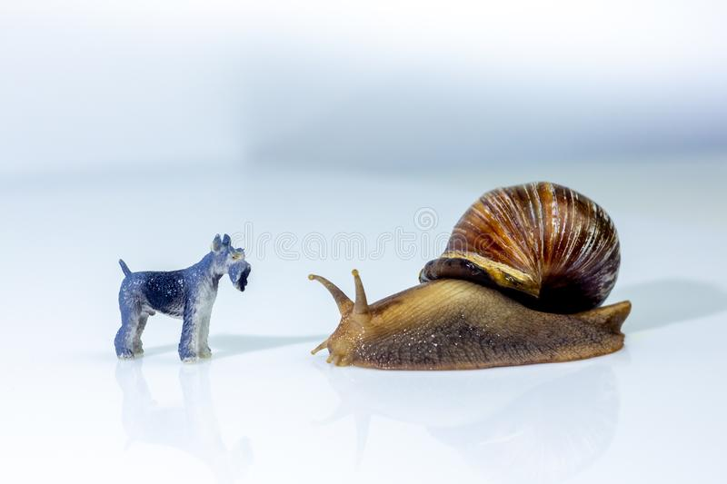 Photo showing the friendship between a giant snails and a little dog in the studio on a white glossy surface and blurred stock photos