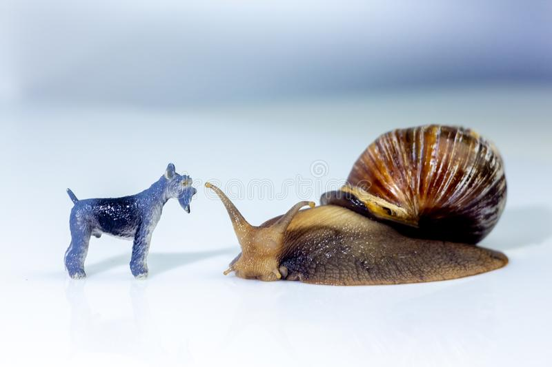 Photo showing the friendship between a giant snails and a little dog in the studio on a white glossy surface and blurred. Background stock photo