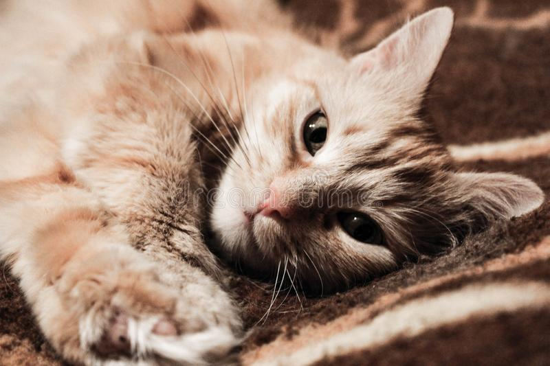 The picture shows a beautiful red cat. stock images