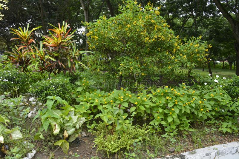Cultivated plants in the premises of the Municipal Hall of Matanao, Davao del Sur, Philippines. This photo shows the cultivated plants in the premises of the royalty free stock photo