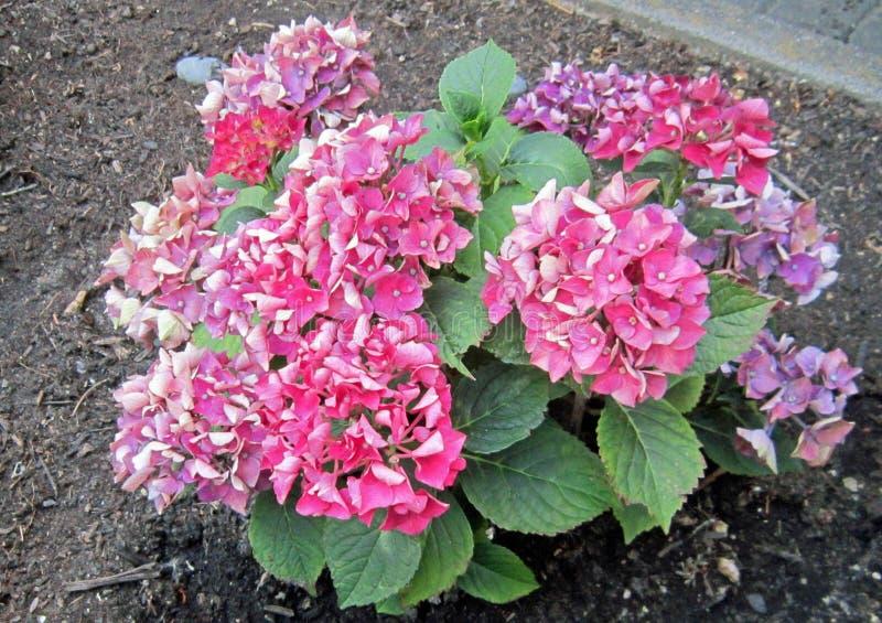Hortensia - Hydrangea in Frankfurt, Main, Germany, Europe stock images