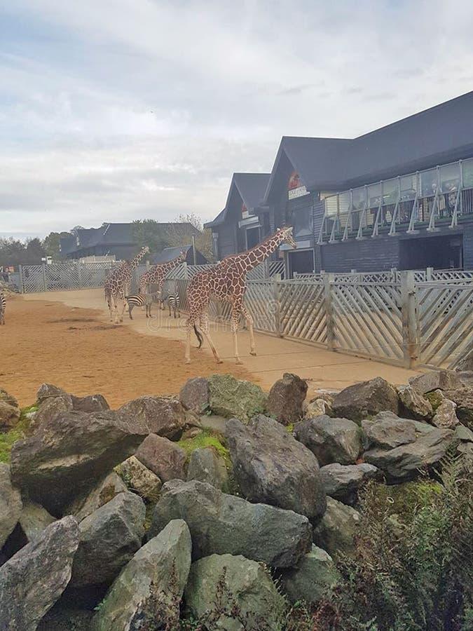Giraffe Enclosure Stock Photos Download 280 Royalty Free
