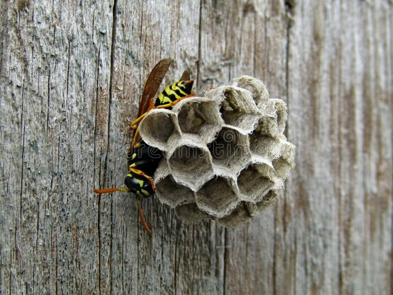 Insect wasp on the door royalty free stock photography