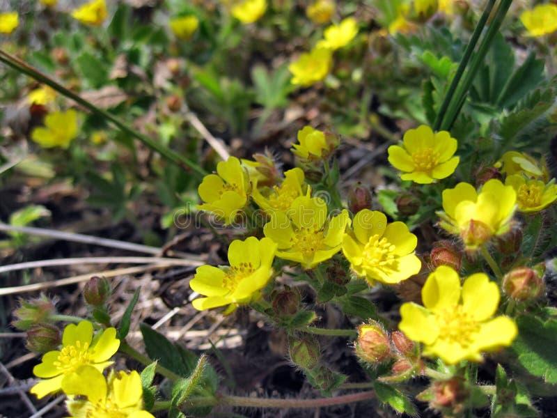 Plant oenothera fruticosa royalty free stock photo