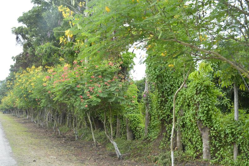 Plants along the Road to Guihing, Hagonoy, Davao del Sur, Philippines. This photo shows the plants along the road going to Guihing, Hagonoy, Davao del Sur stock image