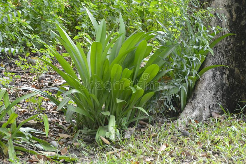Plants grown in Tologan, Padada, Davao del Sur, Philippines stock photo