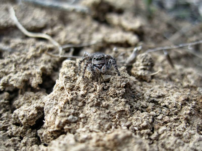 Spider gray salticidae. This photo shows spider gray salticidae royalty free stock image