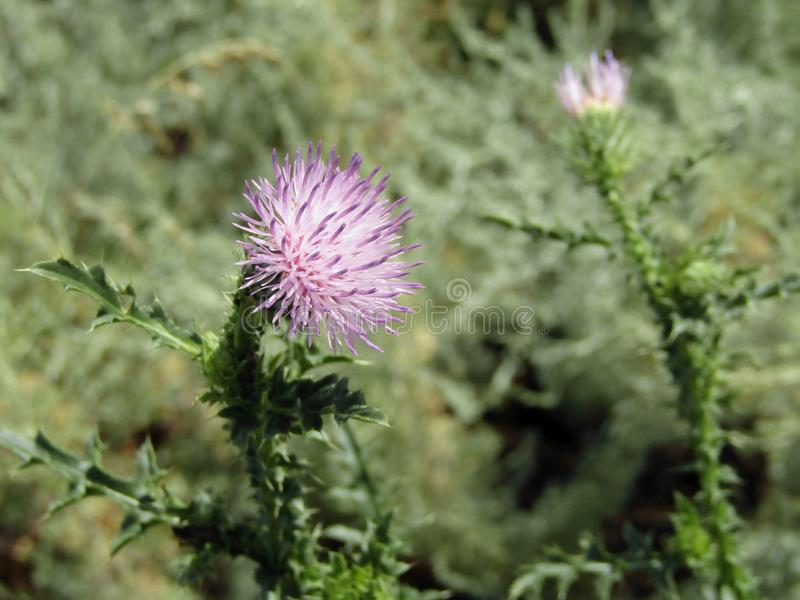 Spiny plant of the genus cirsium vulgare. This photo shows a spiny plant of the genus cirsium vulgare royalty free stock photo