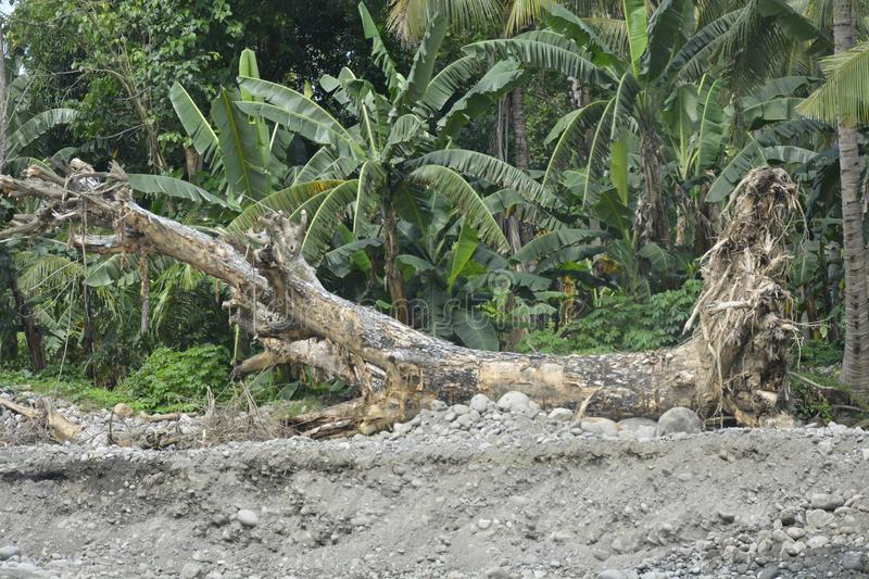 Uprooted tree at Mal riverbank, Matanao, Davao del Sur, Philippines. This photo shows the uprooted tree at Mal riverbank, Matanao, Davao del Sur, Philippines stock photos