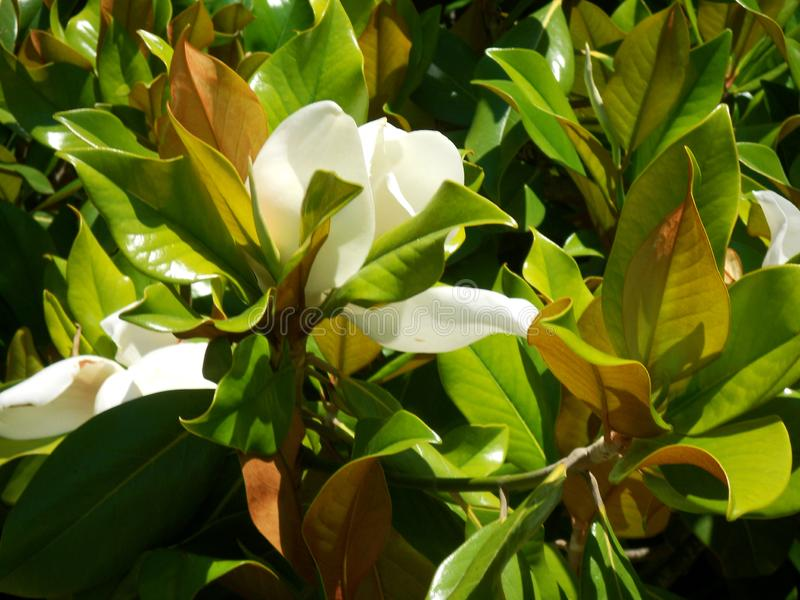 Magnolia flower. This photo shows a white Magnolia flower. Good for some creative projects royalty free stock images