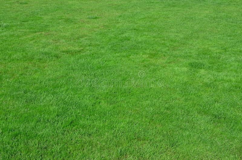 Photo of the site with even-cropped green grass. Lawn or alley of fresh green gras royalty free stock photo