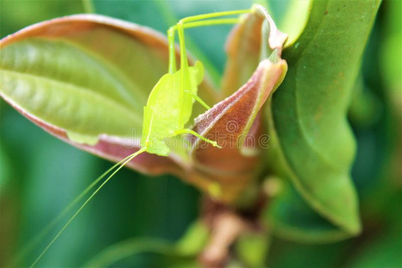 A small green insect on a plant. This is a photo of a small green insect on a plant stock photos