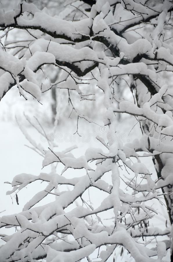 Photo of snow covered tree branches in a cold winter season. Trees during a heavy snowfall.  stock image