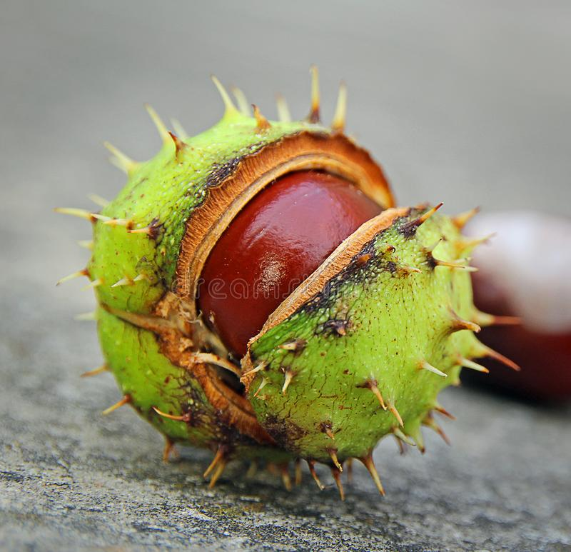 Geometric spiky conker seed pod. Photo of a spiky pod split open to reveal a brown conker horse chestnut seed royalty free stock image