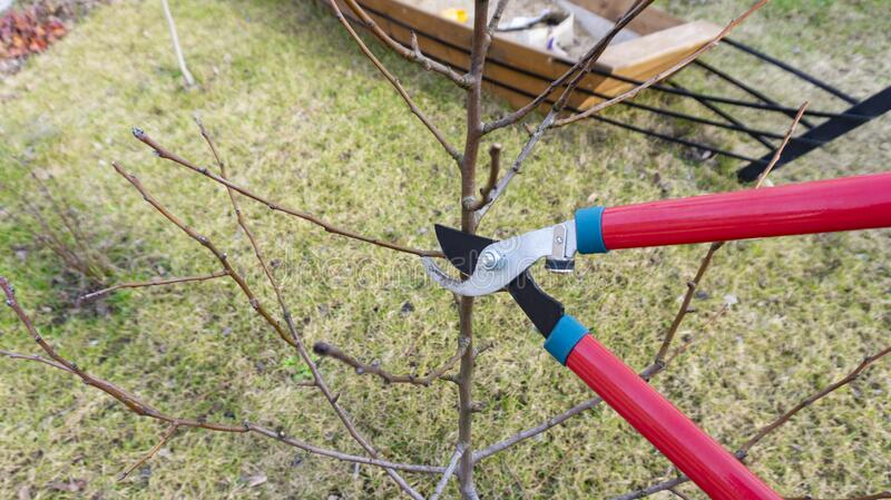 Photo of spring planned pruning of fruit tree with garden shears. Caring for a young orchard in the spring. Garden work on the. A beautiful photo of spring royalty free stock image