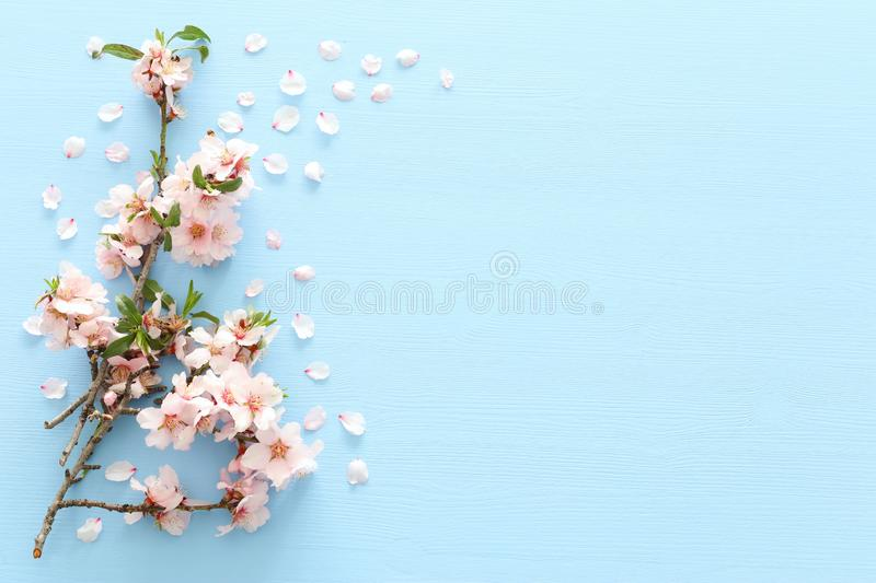Photo of spring white cherry blossom tree on blue wooden background. View from above, flat lay. Photo of spring white cherry blossom tree on blue wooden stock image