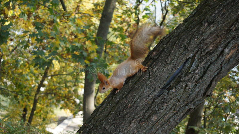 Photo of a squirrel on a tree royalty free stock image