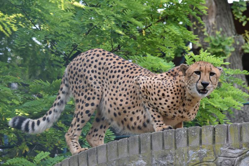 Stunning but angry cheetah walking royalty free stock image