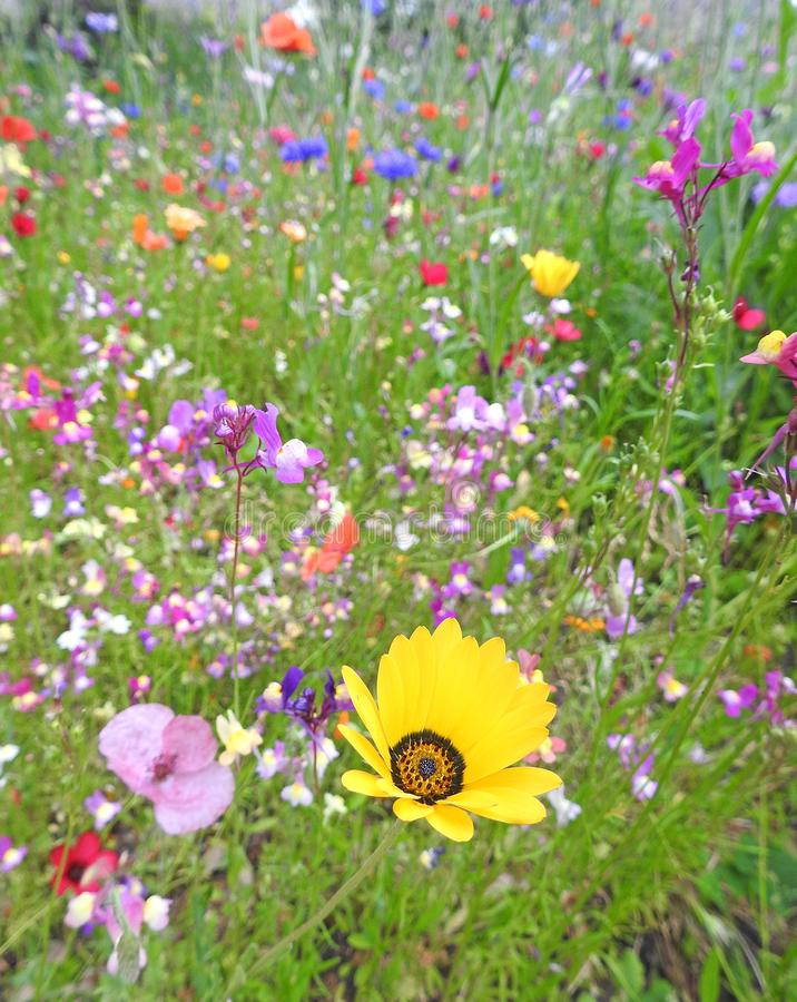Summer multi coloured meadow small garden flowers plants. Photo of a summer multi coloured meadow flowers growing in small country garden through july 2019 stock photos
