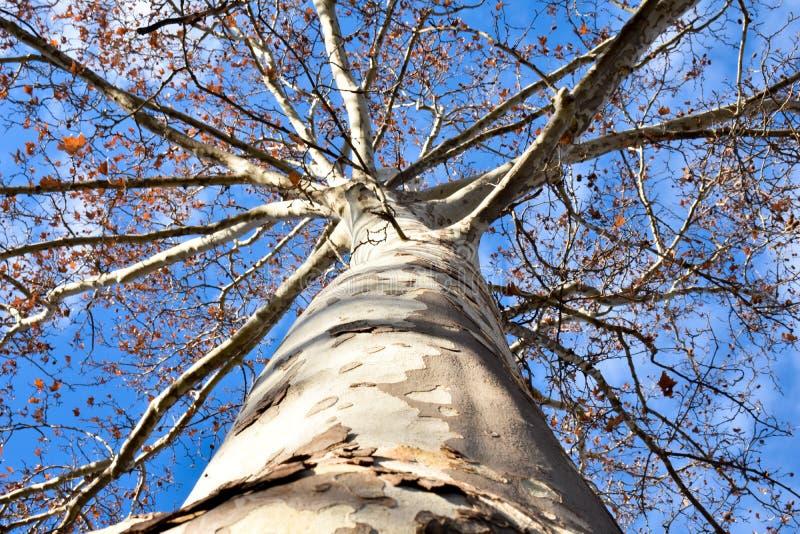 photo supérieure inférieure dans tout le rondin d'un arbre d'érable d'a à beaucoup de branches presque sans feuilles ouvertes image stock