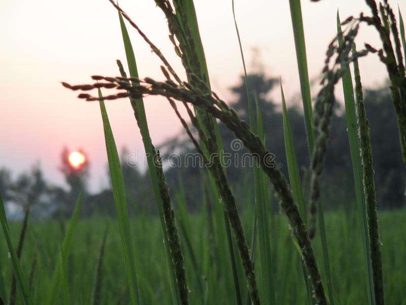 Sun or crops. This photo take at afternoon stock images