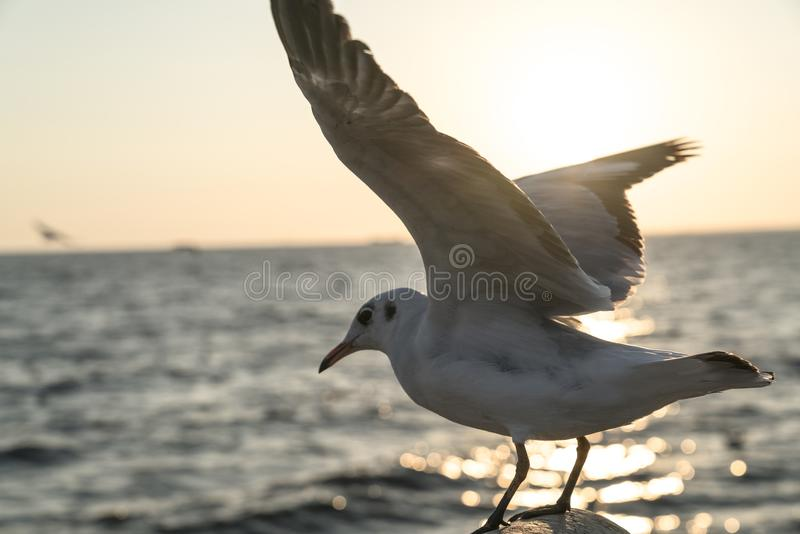 A seagull that just landed from flight stock photography
