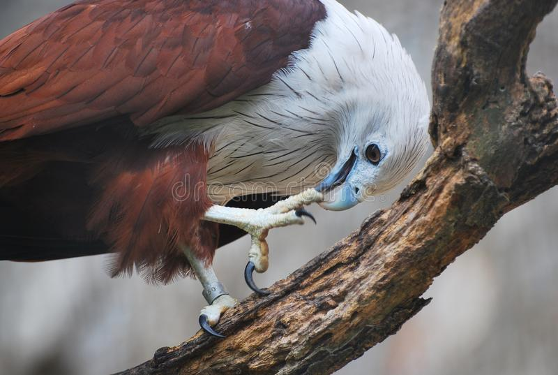 A brahminy kite eagle. A photo taken on a brahminy kite sea eagle in captivity on a tree top branch cleaning its talons and claws royalty free stock images