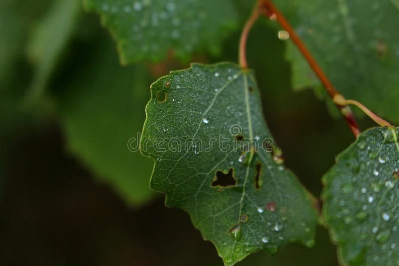 Water Droplets on a Dark Green Leaf royalty free stock photography