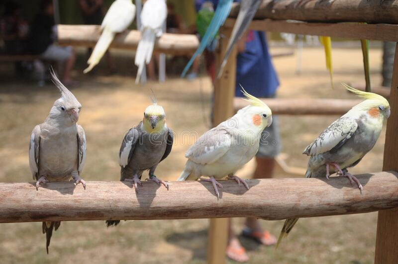 Four little light colored parrots perched on a branch in a row royalty free stock photo