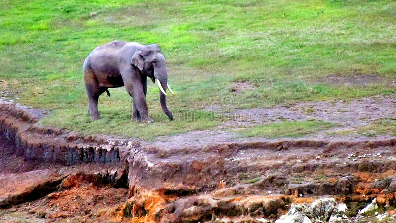 Elephant stanting a green land of green munnar. stock photo