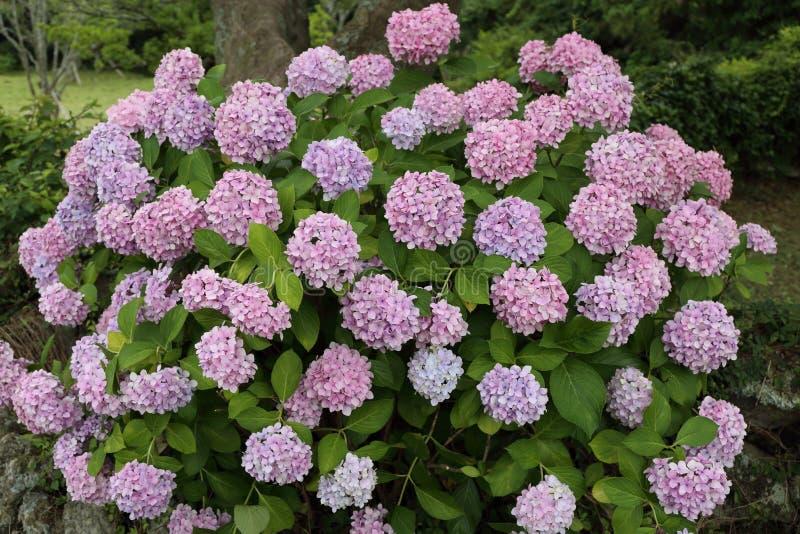 Hydrangea Macrophylla Flower in Jeju, Korea. Photo taken in July in Jeju, South Korea stock photography