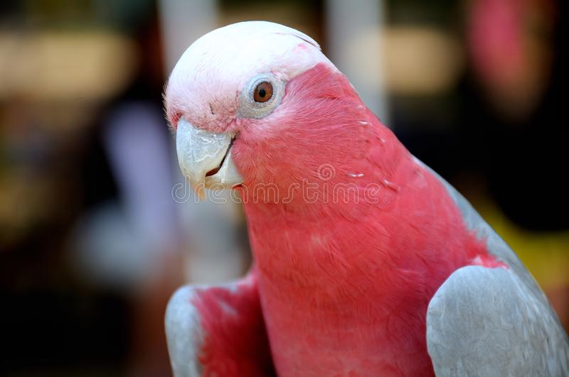 A light pink red lory bird in the foreground with a soft bokeh backdrop royalty free stock photos
