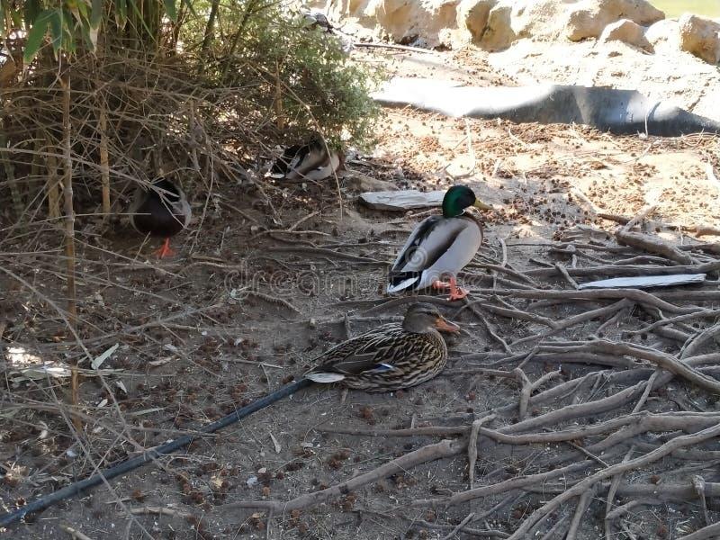 Ducks in captivity in zoo of Ayamonte province of Huelva Spain. Photo taken in March 1019 stock photos